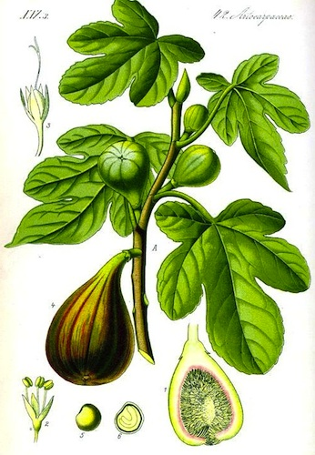 , Botanical-Fruit-Ficus-fig-tree.jpg